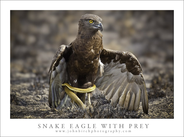 Snake Eagle Cloaks Prey