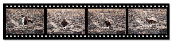 snake-eagle-filmstrip