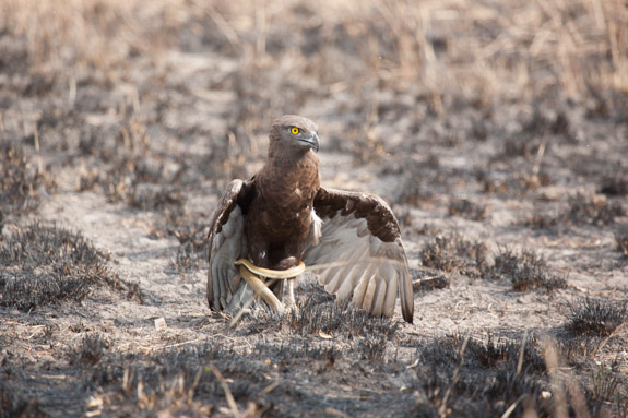Snake Eagle with Prey