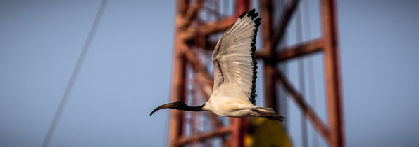 Sacred Ibis flying past the rig