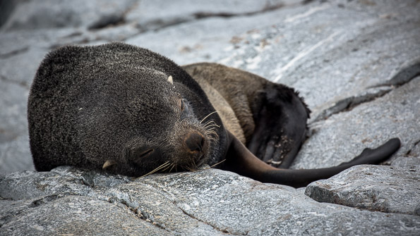 Sleeping Fur Seal