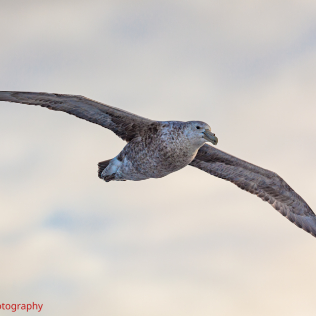 Giant Petrel following the ship across the Drake Passage