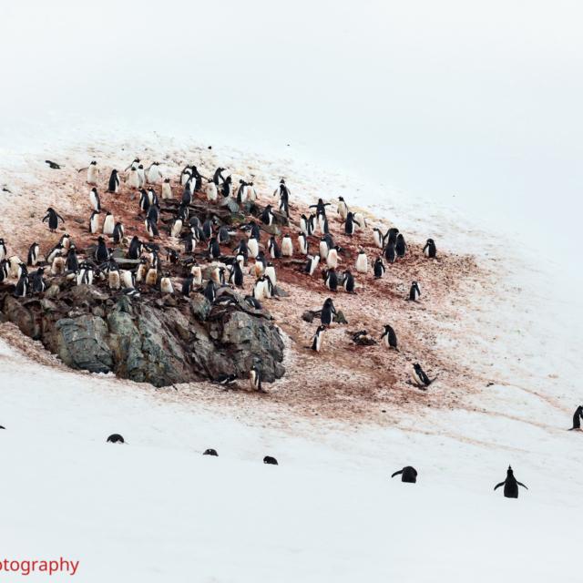 Adele Penguins · Cuverville Island