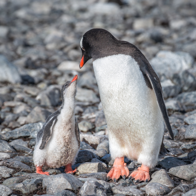 Gentoo Chick begs for food