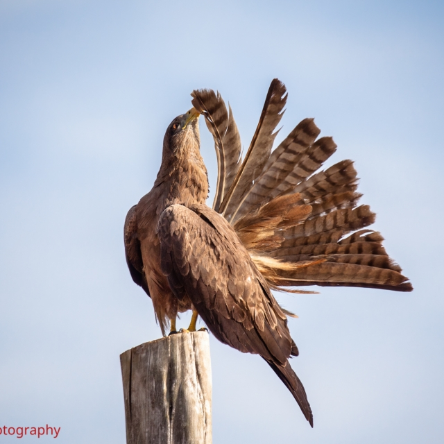 Yellow-billed Kite