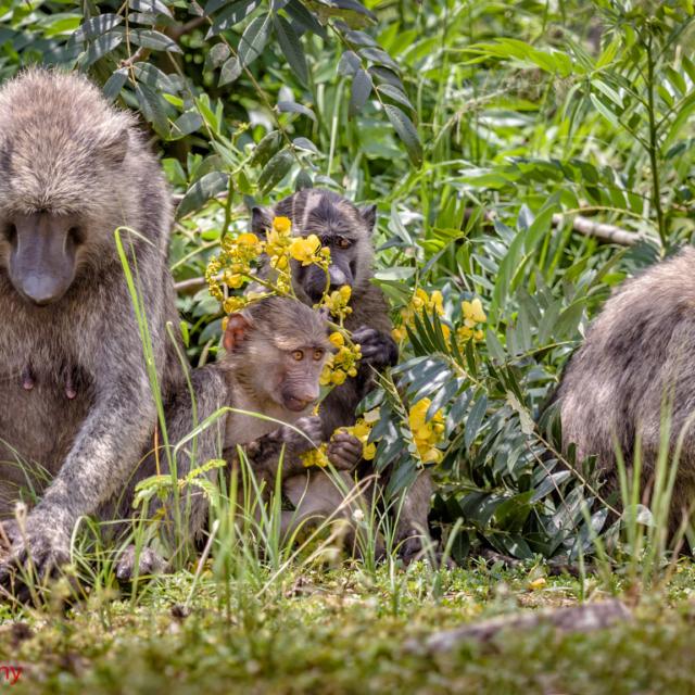 Baboon Family Picnic