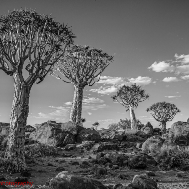 The Quiver Tree Forrest ·  Namibia