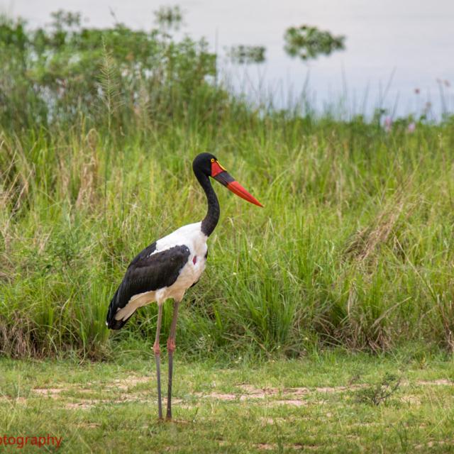 Sadlebill Stork